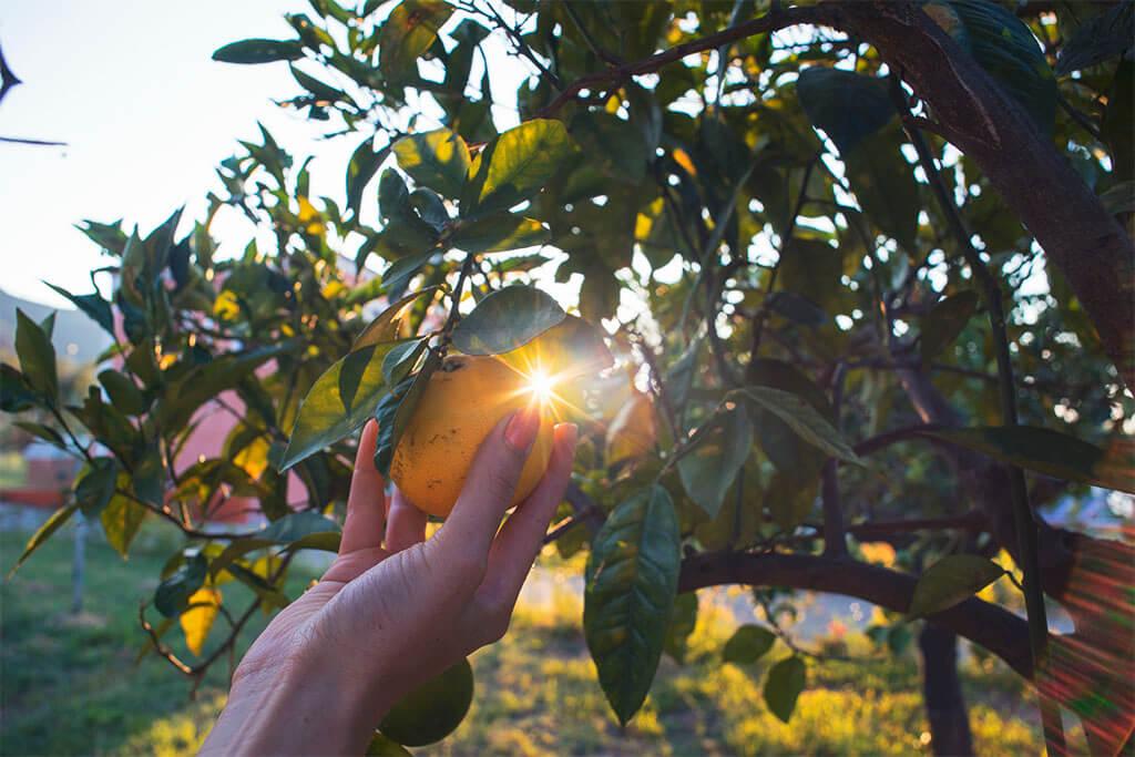 super Unterkunft in Sizilien, Zitronenbaum